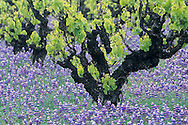 Grape vine and bluebonnets in spring, near Ukiah, Mendocino County, California