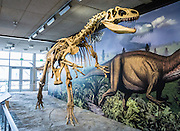 Displayed at Quarry Exhibit Hall in Dinosaur National Monument, this Allosaurus fragilis skeleton is cast from bones of the Jurassic Period (149 million years ago) dug from the Cleveland-Lloyed Quarry in east-central Utah, USA. Allosaurus was the most common predatory animal in the Morrison Formation's ancient ecosystem.