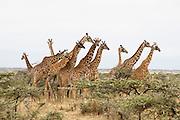 Kenya, Lake Nakuru National Park, a herd of Rothschild Giraffes, Giraffa camelopardalis rothschildi, in the savannah