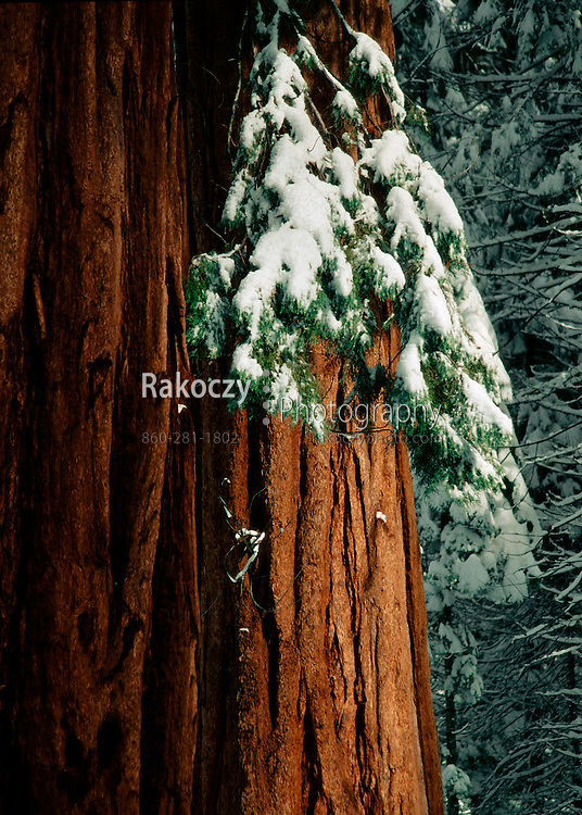 The massive trunk of a giant sequoia stands unburdened by the weight of winters snow, Yosemite National Park, CA.