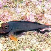 Redlip Blenny inhabit rocky inshore areas and shallow reef tops less than 30 ft. in Tropical West Atlantic; picture taken Key Largo, Florida Keys.