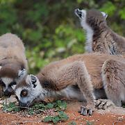 Ring-tailed lemurs feeding on leaves. Berenty Reserve, Madagascar