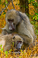 Baboons grooming, Kruger National Park, South Africa