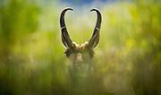 Antelope graze along the Grape Creek headwaters of Lake DeWeese.