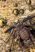 Tailless Whip Scorpion<br />