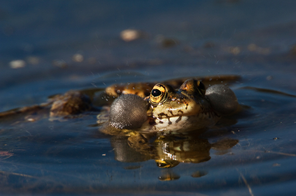 Marsh or Lake Frog (Rana ridibunda)<br /> Sierra de Andújar Natural Park, Mediterranean woodland of Sierra Morena, north east Jaén Province, Andalusia. SPAIN<br /> RANGE: 2 separate areas of Europe. One in Iberia and s France and other in the east from Germany east to Russia & the Balklands. INTRODUCED INTO UK.<br /> These are gregarious, diurnal & very aquatic frogs.<br /> <br /> Mission: Iberian Lynx, May 2009<br /> © Pete Oxford / Wild Wonders of Europe<br /> Zaldumbide #506 y Toledo<br /> La Floresta, Quito. ECUADOR<br /> South America<br /> Tel: 593-2-2226958<br /> e-mail: pete@peteoxford.com<br /> www.peteoxford.com