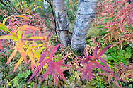 Autumn colour of  fireweed, great willowherb, rosebay willowherb, Chamaenerion angustifolium, Abisko National Park, Norrbotten, Lapland, Sweden