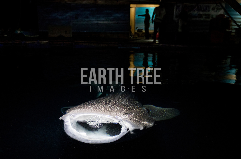 whale sharks are held in sea pens, destined for China's ocean theme parsk,  Ambon, Indonesia, 27th May 2016. The whale sharks were destined for ocean theme parks in China according to WCS.  After an 18 month long investigation WCS crimes unit supported the Ministry of Marine Affairs and Fisheries (MMAF) and the Indonesian Marine Police (POLAIR) arrested   major supplier of large marine megafauna to the international aquarium.  Photo: Paul Hilton for WCS  in sea pens, Ambon, Indonesia, 27th May 2016. Photo: Paul Hilton for WCS