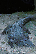 Siamese crocodile, Crocodylus siamensis (c), <br /> critically endangered species<br /> nearly extinct in the wild - possibly a few left in Thailand;<br /> formerly also found in Laos, Cambodia, Vietnam, & Malaysia