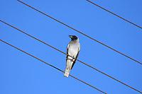 Coracina Noaehollandiae, Blue jay, shufflewing, summerbird, Black-Faced Cuckoo-shrike,