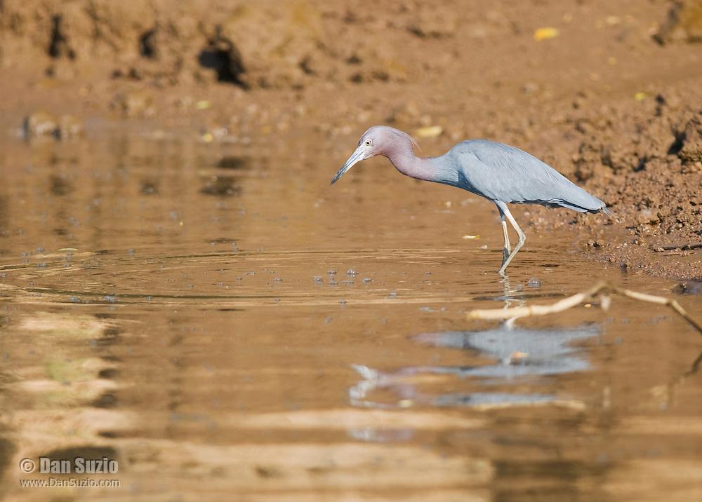 Little blue heron, Egretta caerulea, at the shore of the Tarcoles River, Costa Rica