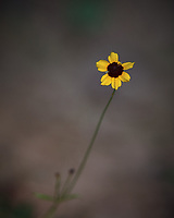 Tiny yellow wildflower. Image taken with a Nikon D810a camera and 70-300 mm VR lens  (ISO 100, 300 mm, f/5.6, 1/250 sec).