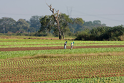 Agricultores trabalhando na plantacao de alface, com curva de nivel para evitar a erosao/..Agriculturists working at a lettuce plantation, with countour plowing to avoid erosion.