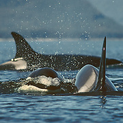 """Encountering orcas was a much rarer event than being with the humpback whales in Southeast Alaska so I always viewed it a special treat and a bonus for the summer. I always felt like I had to shift up into a much higher gear with the faster swimming orcas, and I usually knew that something out of the ordinary was going to happen. Most of pods of orcas I encountered were small transient pods specializing in hunting for marine mammals. On this occasion I was able to paddle many miles with a very large pod of at least 30 individuals that spanned the width of Chatham Strait. It was a beautiful, sunny day and the sea was calm without a puff of wind, which always makes it a bit easier to keep up with them. They appeared to be hunting for salmon by corralling them judging from the way their speed and direction changed periodically. It's fascinating listening to the extensive chatter of orcas; they are much more vocal than the humpbacks and can produce a great range of sounds from clicks, squeals and whistles to what sounds like someone knocking on a door. The most memorable thing that happened on this day involved some young calves, which like the humpback calves were very inquisitive about me. I had just stopped for a rest and was observing the behavior of some of the orcas swimming past. Suddenly two calves popped their shiny black heads out of the water right next to the cockpit of my kayak! They were chattering away at me with their squealing and whistling, and after greeting them with a very surprised """"hello', my next instinct was to pat them on the head like puppies, but they disappeared before I had the chance to do that. <br /> I never ever felt threatened by orcas, even when the big bulls would sometimes swim straight towards me, and they would twist sharply at the last minute just before their tall dorsal fins could slice into me. I'm quite sure that they were only ever inquisitive about me."""