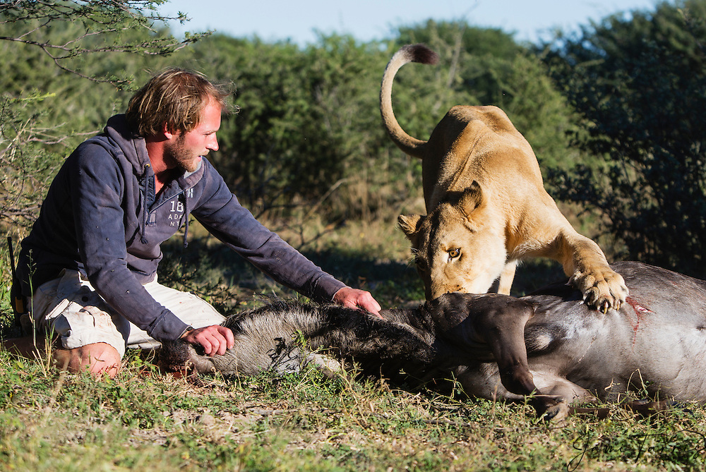 Valentin Gruener with a lioness (Panthera leo) that he raised from a small dying cub to a healthy adult on a wildebeest kill, lioness was hand raised by Val; when outside her enclosure she started to make her own kills, Grasslands Private Reserve,Kalahari Desert, Botswana, Africa