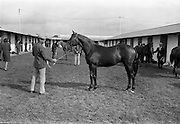 19/09/1967<br /> 09/19/1967<br /> 19 September 1967<br /> Goffs September Sales at Ballsbridge, Dublin. Picture shows a yearling colt, the property of the Abbey Lodge Stud Company, bought by Lord Harrington, Patrickswell, Co. Limerick for 10,000 guineas.