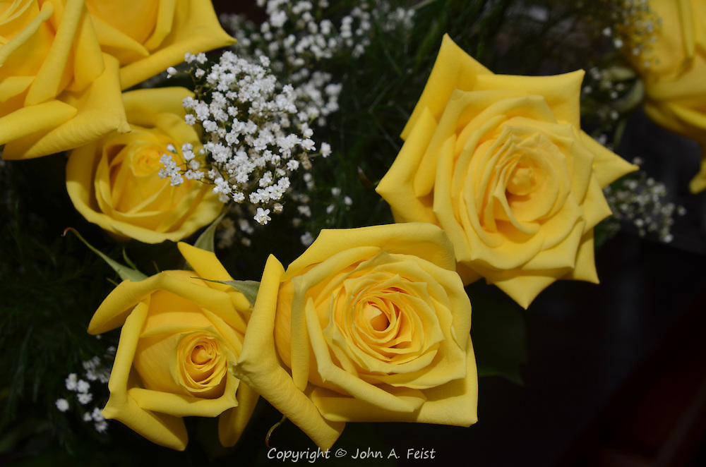 These yellow roses will open even bigger in a day or two.  Hillsborough, NJ