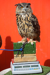 © licensed to London News Pictures. London, UK 21/08/2013. An eagle-owl called Max weighs 1,928 gram at ZSL London Zoo's annual weigh-in on Wednesday, 21 August, 2013. Photo credit: Tolga Akmen/LNP