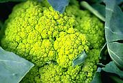 Close up selective focus photograph of raw Green Cauliflower