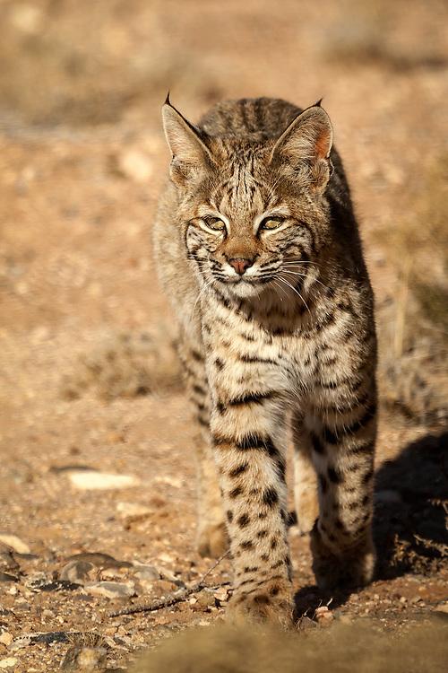 A wild bobcat in the high desert of Plactias, New Mexico.