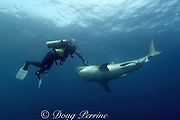 diver fends off tiger shark, Galeocerdo cuvier, with camera, Aliwal Shoals, South Africa ( Indian Ocean )