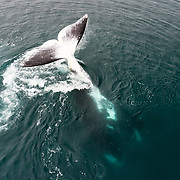 This bowhead whale (Balaena mysticetus) is a part of the endangered Sea of Okhotsk subpopulation, with population estimates in the low hundreds. This individual was turned upside-down while performing loud percussive slaps on the ocean surface with the dorsal surface of its fluke. Orca rake marks are visible on the corners of the whale's fluke. The whale was part of a large social gathering, comprising well over 50 whales. This whale's tail slapping could be heard for a long distance. When this whale stopped, the gathering dissolved, with whales breaking moving away as singles and in smaller groups.
