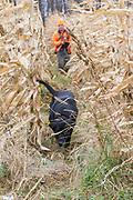 Jared Wicklund hunts pheasants with his Black Lab in Minnesota