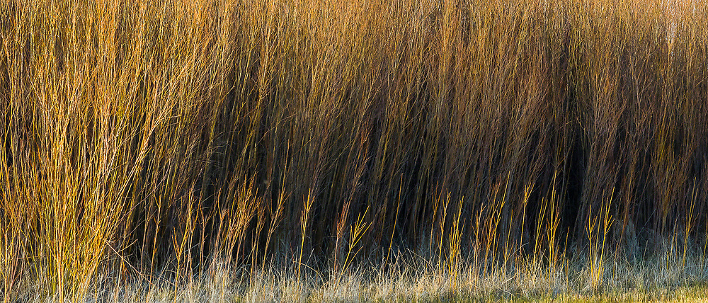 A grove of Willows in the Malheur National Wildlife Refuge in Oregon glow in the setting sun.