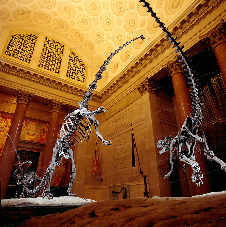 Parts of this 140 -million year-old Barosaurus from Dinosaur National Park near Jensen, Utah, once resided simultaneously at three different museums - now it resides at the American Museum of Natural History.