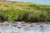 Hippopotamuses, Hippopotamus amphibius, crowd together in a pond in Ngorongoro Crater, Ngorongoro Conservation Area, Tanzania