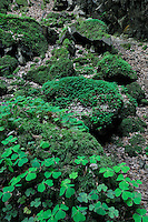 (Oxalis acetosella) Common Wood sorrel near the Wolfsschlucht / Gorge du Loup, Mullerthal trail, Mullerthal, Luxembourg