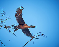 Double-crested Cormorant in flight at Big Cypress Swamp. Image taken with a Nikon Df camera and 400 mm f2.8 lens (ISO 800, 400 mm, f/4, 1/1000 sec).