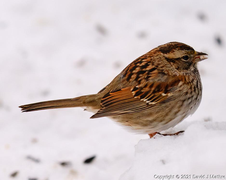 Song Sparrow (Melospiza melodia). Image taken with a Fuji X-T3 camera and 200 mm f/2 OIS lens with a 1.4x teleconverter.