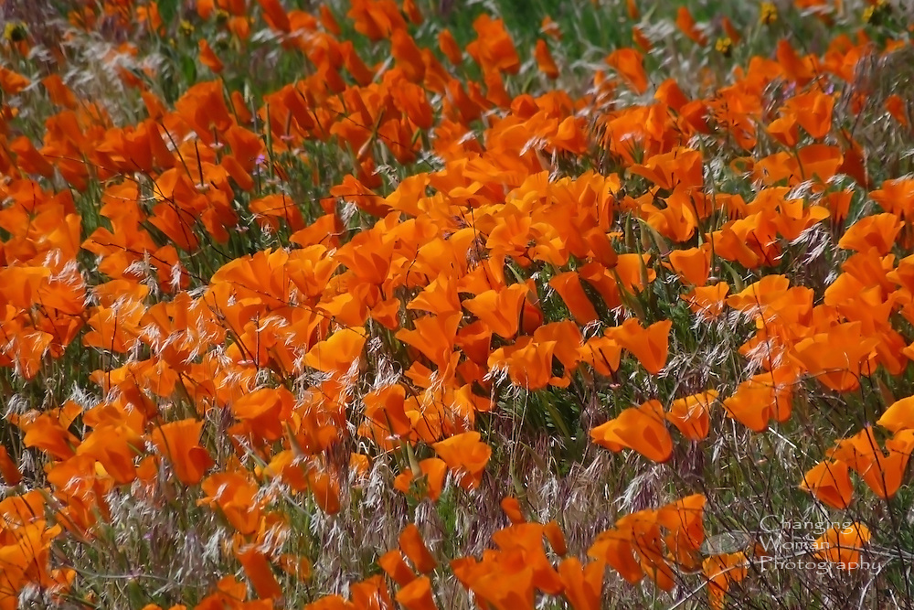 A dense field of California poppies colors the landscape orange at the Antelope Valley Poppy Preserve in California's Mojave Desert, northwest of Lancaster.