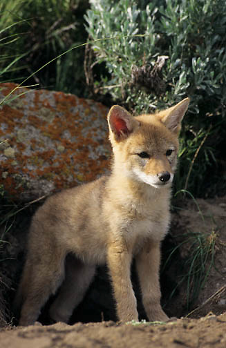 Coyote (Canis latrans) portrait of a pup in the Rocky Mountains of Montana.  Captive Animal.