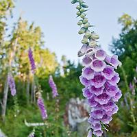 A field of wildflowers off Oso Road near Lake Cavanaugh, Washington.  Photo by William Byrne Drumm, July 14, 2010.