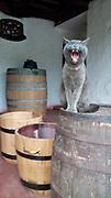 Gato con barriles de vino / Santiago de Chile, Chile.<br /> <br /> Edición de 5   Víctor Santamaría.<br /> <br /> Cat and wine barrells / Santiago de Chile, Chile.<br /> <br /> Edition of 5   Víctor Santamaría.