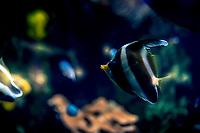 Sailfin tang - Poisson-chirurgien - Zebrasoma velifer