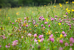Red clover, yellow rattle and buttercups. Trifolium pratense