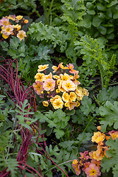 Polyanthus 'Stella Champagne' F1 with mixed salad leaves