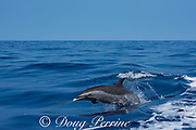 pantropical spotted dolphin, Stenella attenuata, porpoising out of the water at high speed, South Kona, Hawaii ( the Big Island ), United States ( Central Pacific Ocean )