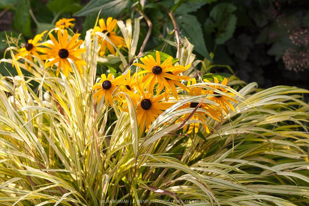 Black-eyed Susans growing through Gold-Striped Hakone Grass