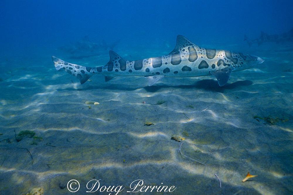 leopard shark, Triakis semifasciata, Channel Islands, California ( Eastern Pacific Ocean )