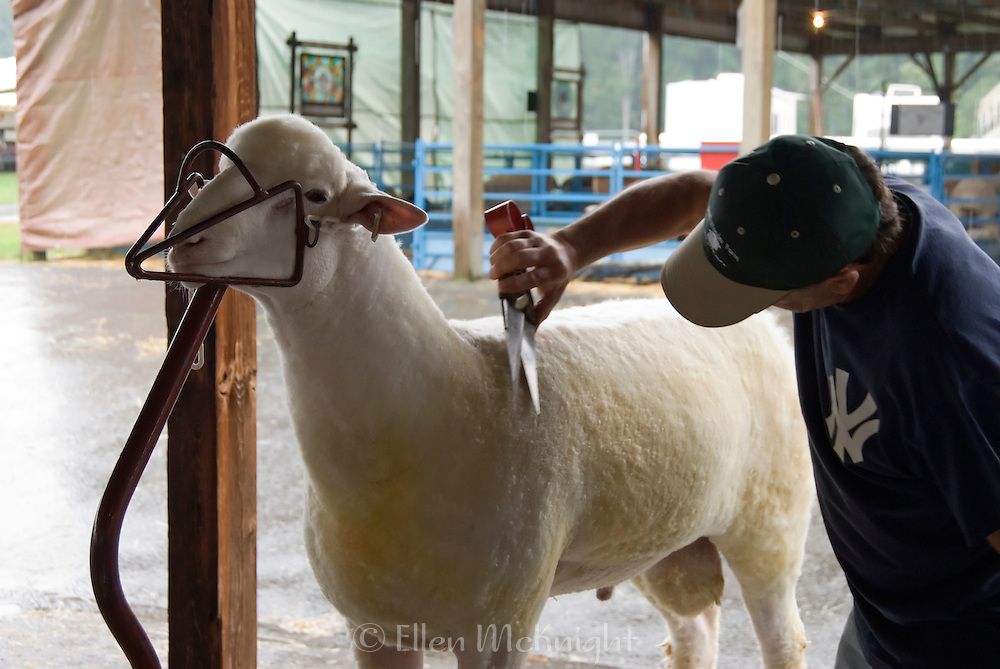 Sheep Shearing Demonstration at the Dutchess County Fair in Rhinebeck, NY