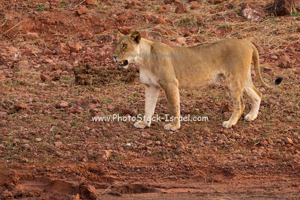Lioness, Panthera leo, prowling. Photographed at Lake Kariba National Park, Zimbabwe