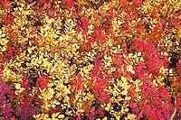 Cascade Huckleberry (Vaccinium deliciosum) and Subalpine Spiraea (Spiraea densiflora) Takh Takh Meadow, Gifford Pinchot National Forest, WA, USA
