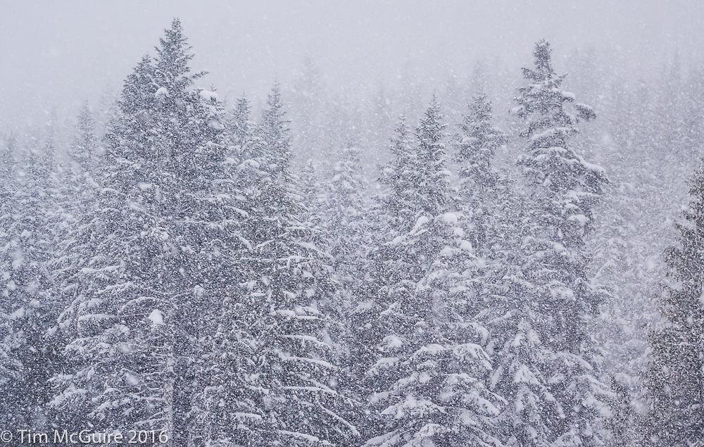 Snowy forested mountainside above Crystal Mountain ski resort, Washington.