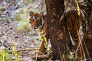 A Bengal tiger portrait (Panthera tigris tigris) while walking in the forest, behind a tree,Ranthambhore National Park, Rajasthan, India,