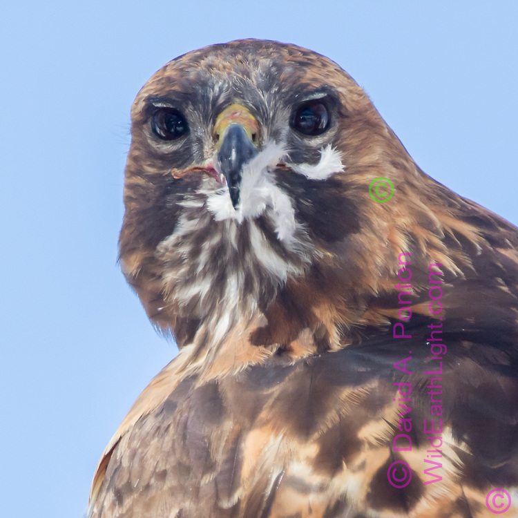 Red-tailed hawk looks over its back towards camera, with prey feathers stuck to its beak, David A. Ponton