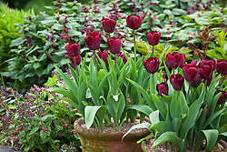 Tulipa 'Jan Reus' in terracotta pots. Lamium orvala and Pulmonaria in the background